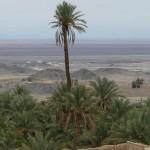 درخت «عمرو » بلندترین درخت نخل ماده در ایران هر سال محصول میداد و اکنون از بین رفته است .